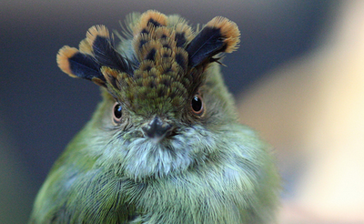 The Mysterious Scale-crested Pygmy Tyrant