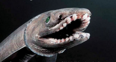 "A ""Living Fossil"": Frilled Shark"