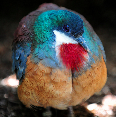bleeding heart dove