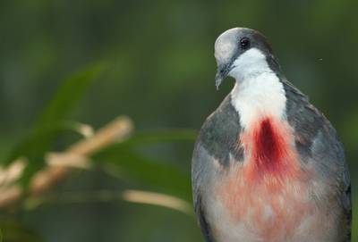 Bleeding Love: The Bleeding-heart Dove