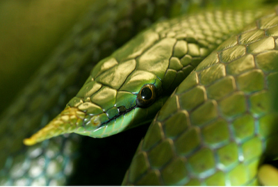 Behold the Green Unicorn!!! … A.K.A. the Vietnamese Long-nosed Snake