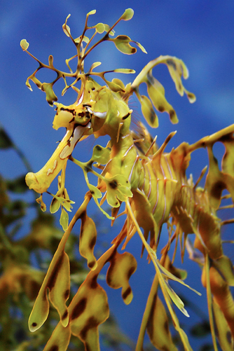 Camouflaging Master The Leafy Sea Dragon Featured Creature