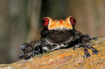 Bird-Poop frog,Theloderma asperum