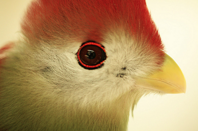 Did You Know About the Red-Crested Turaco?