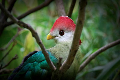 Red-crested Turacos, Tauraco erythrolophus