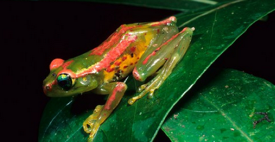 Bright-eyed Frog, Boophis ulftunni