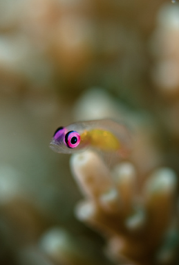 Pink Eye Can Be Beautiful: Pink-eye Goby
