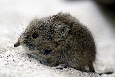 Short-Eared Elephant Shrews Deserve a Shnuggle!