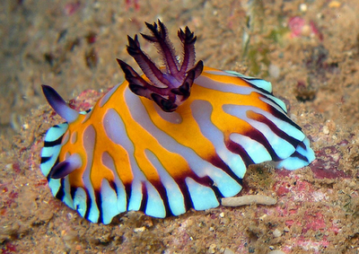 New Week Nudi: Chromodoris roboi