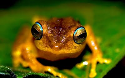 Blue-eyed Bush Frogs, Philautus neelanethrus