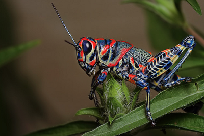 Dactylotum bicolor, insect, Painted Grasshopper, Rainbow Grasshopper