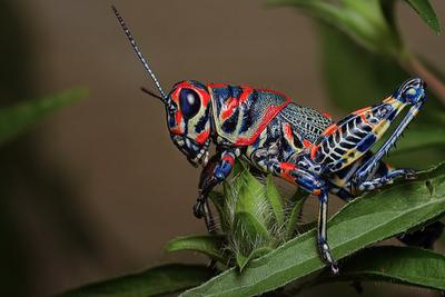 Psychedelic Grasshopper!