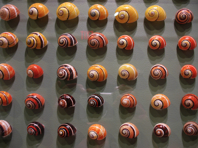 Painted Snails, Cuban Land Snails, Polymita picta, shells