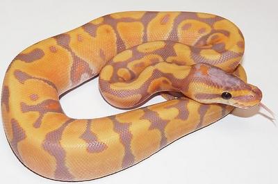A Pastel Ball Python…Pretty!