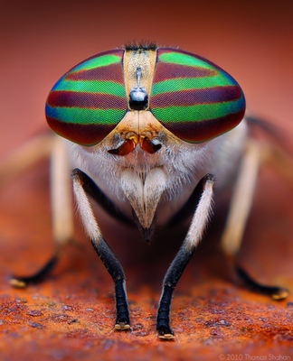 Aviatars Are In Style For the Striped Horsefly