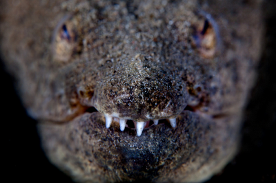 Spotted Spoon-nose Eel, Echiophis intertinctus