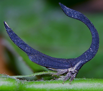 Spotted: Horseshoe-Shaped Treehopper