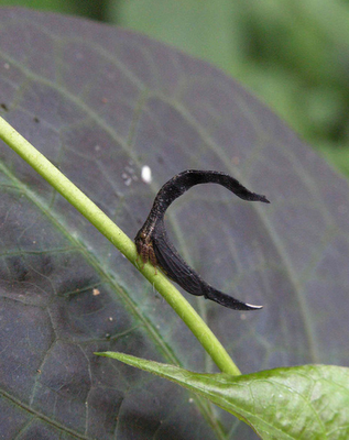 Horseshoe-shaped Treehopper, Sphongophorus ballista