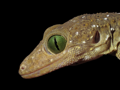 Smith's Green-eyed Gecko (Gekko smithii