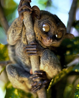 Is a Tarsier Scary or Cute?