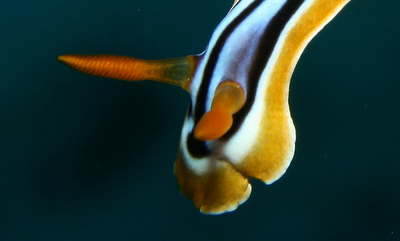 striped pajama nudibranch