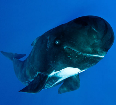 pilot whale smiling