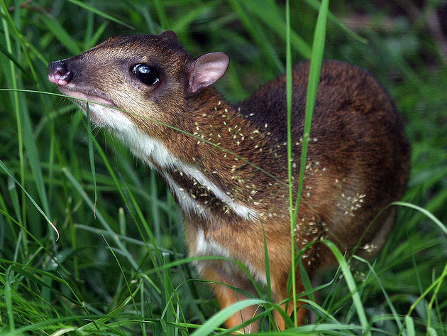 mouse deer - photo #16