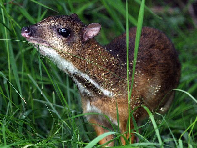 Mouse Deer Cuteness | Featured Creature