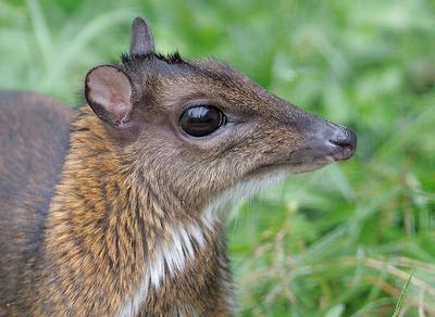 Mouse Deer Cuteness