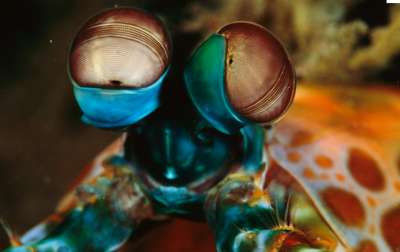 mantis shrimp, peacock shrimp