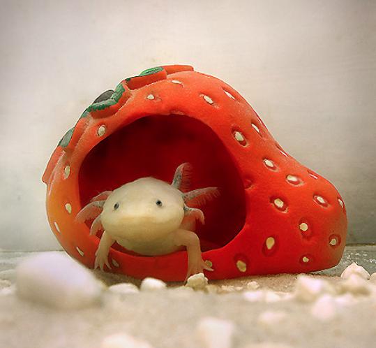 Baby Axolotl Food