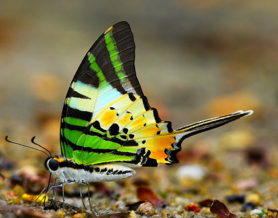 fivebar swordtail butterfly