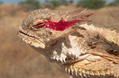 horned lizard with blood