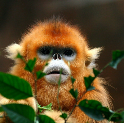 You Will Never Get My Soul, Snub-nosed Monkey!