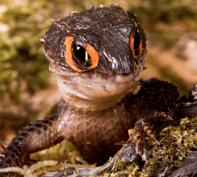 red-eyed crocodile skink