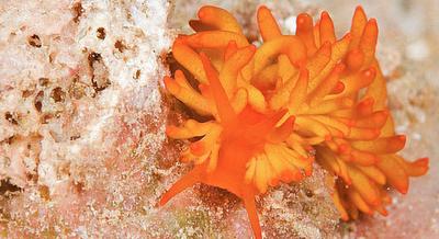 The Cheetos Nudibranch