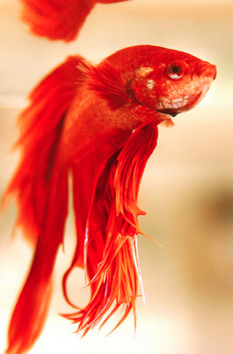 7 Photos of Bettas that Will Blow You Away