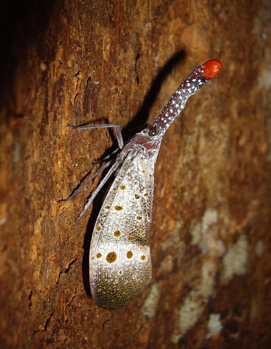 Rudolph The Red Nosed Lantern Bug Featured Creature