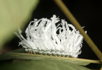 The Bizarre Butternut Woolyworm