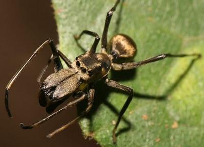 Ant + Spider = Weird Ant Mimicking Spider