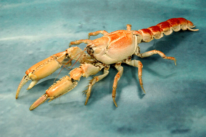 "Mud Lobsters Display ""Volcanic"" Behavior 