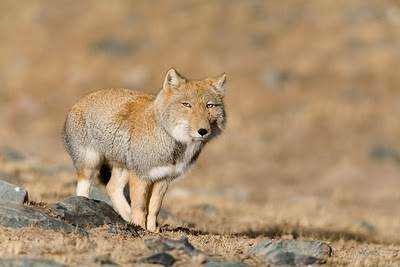 Why So Serious, Tibetan Sand Fox?