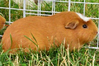 Crested guinea pig - photo#49