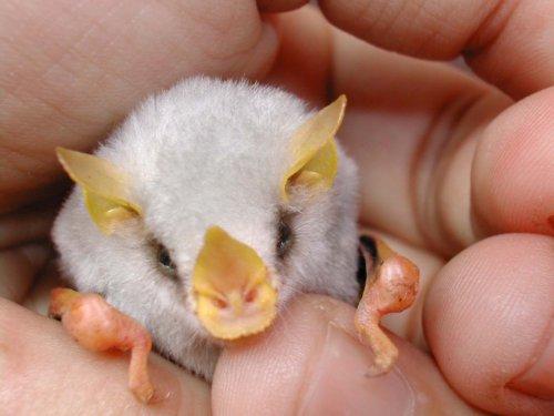honduran white bat Cute White Bats