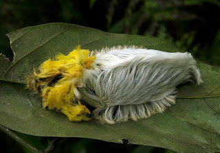 flannel moth caterpillar