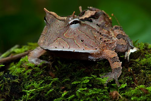 how to take care of a horned toad