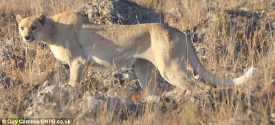 The Naked Cheetah! Rare Spotless Cheetah Found!