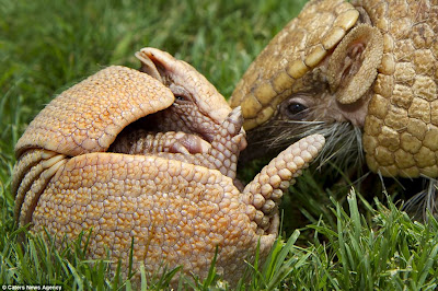 Tennis Ball-sized Baby Armadillo Is Almost Too Cute For Words