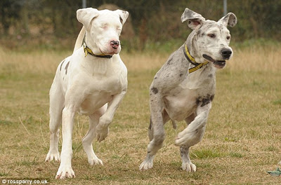 Blind Great Dane and HER Guide Dog Looking For a New Home!