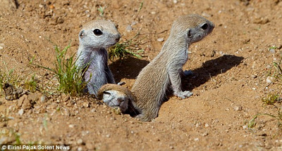 Truth: Baby Ground Squirrels Could Not Be Any Cuter